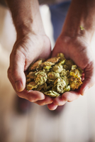 Close up of human hands holding dried hops. Brewing ingredients. 11093012441| 写真素材・ストックフォト・画像・イラスト素材|アマナイメージズ