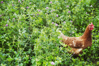 A chicken stood in a meadow.