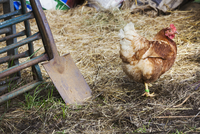 A brown feathered chicken in a barn, scratching in the straw.