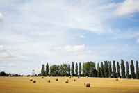A field of stubble, with round straw bales, and a line of poplar trees