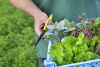 A gardener with scissors harvesting fresh herbs and salad plants. 11093013052| 写真素材・ストックフォト・画像・イラスト素材|アマナイメージズ