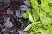 Purple and green leafed basil plants.