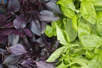 Purple and green leafed basil plants. 11093013053| 写真素材・ストックフォト・画像・イラスト素材|アマナイメージズ