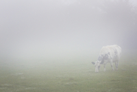 A cow grazing in a field in dense autumn mist.