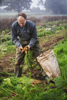 A man lifting and sorting carrots in a field, putting them into a sack.