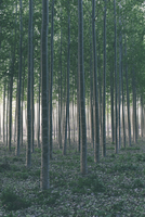 Rows of commercially grown poplar trees in Oregon.