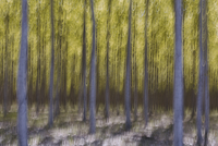 Blurred motion abstract of poplar trees at commercial tree farm