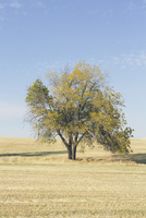Cottonwood tree in autumn, Palouse, Washington