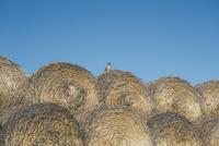 Kitten sitting on rows of hale bales