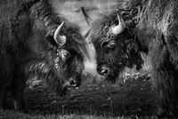 Two American bison head to head, facing each other, in Yellowstone National Park.