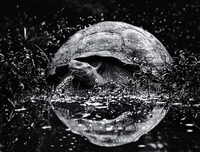 A large Galapagos tortoise approaching water, a reflection of the animal's domed shell in the surface of the water. 11093013641| 写真素材・ストックフォト・画像・イラスト素材|アマナイメージズ