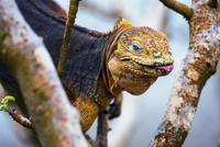 Galapagos land iguana, an iguana with a bright orange skin and black body, in a tree.