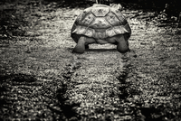 A large Gal疳agos Tortoise, rear view, walking along a muddy path.