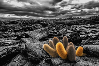Lava cactus plants, Brachycereus spp, growing in the lava fields of Fernandina island.