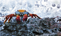 Sally Lightfoot Crab, Grapsus grapsus found in the Galapagos Islands.