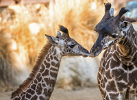 Two giraffes at Los Angeles Zoo nuzzling.