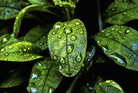 Glossy evergreen leaves with droplets of moisture at Half Moon Bay in California.