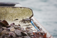 Traditional Sustainable Oyster Fishing. Small dark shelled crab among shells.