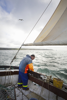 Traditional sustainable oyster fishing. A fisherman on a sailing boat sorting the oyster catch 11093014025| 写真素材・ストックフォト・画像・イラスト素材|アマナイメージズ
