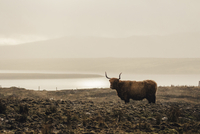 A hairy cow standing in a muddy field in a misty landscape.