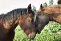 Two horses standing in a field nuzzling each other.