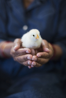 A chick being held in a pair of cupped hands. 11093014666| 写真素材・ストックフォト・画像・イラスト素材|アマナイメージズ