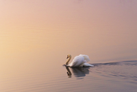 A swan swimming on a large body of water at dusk.
