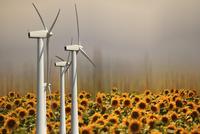 A row of wind turbines above a field of flowering sunflowers, tournesol. Heat haze.