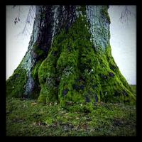 Old linden tree, trunk, Bavaria, Germany 11094000358  写真素材・ストックフォト・画像・イラスト素材 アマナイメージズ