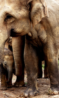 elephants mom and baby protection