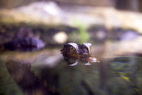 Little crocodile appears on the surface of the water in a zoo at Florya Aquarium in Istanbul.