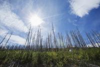 Sun shining over dead trees 11096004819| 写真素材・ストックフォト・画像・イラスト素材|アマナイメージズ