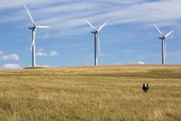 Cow and wind turbines in sunny rural field 11096004821| 写真素材・ストックフォト・画像・イラスト素材|アマナイメージズ