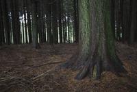 Moss growing on sitka spruce tree in woods 11096004858| 写真素材・ストックフォト・画像・イラスト素材|アマナイメージズ