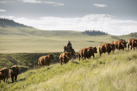 Female rancher on horseback herding cattle on hillside