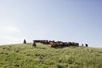 Female ranchers herding cattle on hilltop under blue sky 11096012984| 写真素材・ストックフォト・画像・イラスト素材|アマナイメージズ