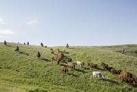 Female ranchers horseback herding cattle on sunny hillside 11096012985| 写真素材・ストックフォト・画像・イラスト素材|アマナイメージズ