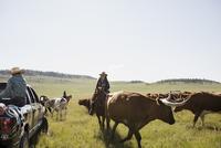 Female rancher on horseback herding cattle sunny field