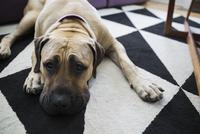 Tired Bullmastiff mix dog laying living room rug
