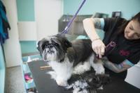 Groomer shaving small dog