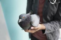 Veterinarian holding pigeon 11096017904| 写真素材・ストックフォト・画像・イラスト素材|アマナイメージズ