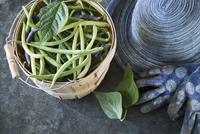 Still life of fresh runner beans in bushel next to gardening gloves and hat