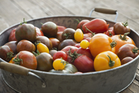 Freshly picked Tomatoes in colander