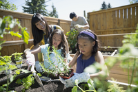 Mother and daughters planting herbs in sunny garden 11096042268| 写真素材・ストックフォト・画像・イラスト素材|アマナイメージズ