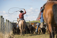 Cattle rancher on horseback lassoing cows