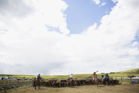 Cattle ranchers rounding up cows