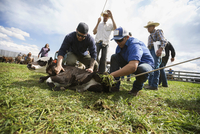Cattle ranchers vaccinating cow