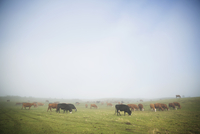 Fog breaking over grazing cows on cattle ranch