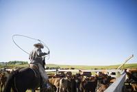 Cattle rancher on horseback lassoing cattle on sunny ranch under blue sky