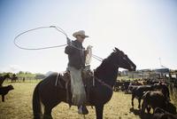 Cattle rancher on horseback lassoing cows under sunny blue sky